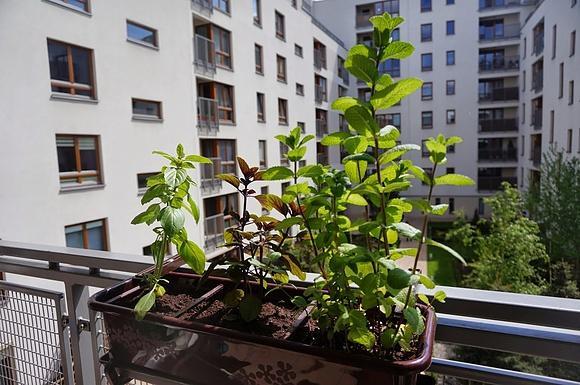 Zielone Jest Zdrowe Zioła W Kuchni I Na Balkonie